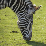 Lovely Grevy`s Zebra Equus Grevyi grazing in lush green clearing Stock Photography