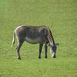 Lovely Grevy`s Zebra Equus Grevyi grazing in lush green clearing Royalty Free Stock Photos