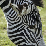 Lovely Grevy`s Zebra Equus Grevyi grazing in lush green clearing Stock Image