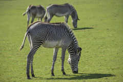 Lovely Grevy`s Zebra Equus Grevyi grazing in lush green clearing Royalty Free Stock Image