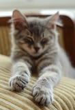 Lovely grey cat (kitten) sleeping on sofa Stock Images