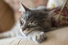 Lovely grey cat (kitten) sleeping on sofa Stock Image