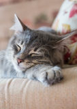 Lovely grey cat sleeping Royalty Free Stock Image