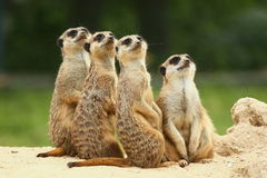 Lovely Group of Meerkats. Meerkats all sit together and look at the sky Stock Photo
