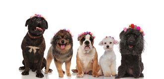 Lovely group of mixed dogs wearing flowers crowns. On a whote background, waiting for spring to come Royalty Free Stock Images