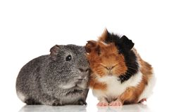 Lovely guinea pig couple sitting. Lovely guinea pig couple with white, grey, black and brown fur, sitting on white background Stock Image