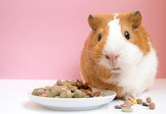 Lovely Guinea pig eating pellets Royalty Free Stock Photos