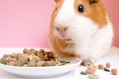 Lovely Guinea pig eating pellets Royalty Free Stock Images