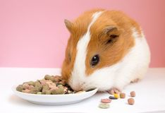 Lovely Guinea pig eating pellets Royalty Free Stock Photo