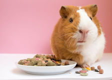 Lovely Guinea pig eating pellets Royalty Free Stock Image