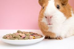 Lovely Guinea pig eating pellets. On pink background Stock Photos