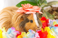 Lovely guinea pig with flower Stock Images