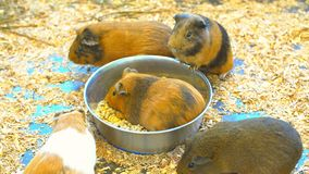 Lovely Guinea pigs. stock photography