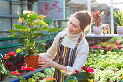 Lovely happy young woman gardener choosing flower pot with anthuriums Royalty Free Stock Image
