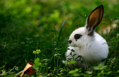 Lovely hare. It's taken at Beijing arboretum, the hare did not fear me when I focused my lens on her Stock Photography