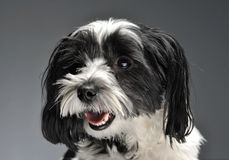 Lovely havanese portrait in gray background. Lovely havanese portrait in a gray background stock photography