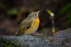 Lovely Hill Blue Flycatcher Royalty Free Stock Images