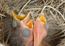 Lovely hungry baby birds Stock Photo