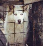 Lovely husky dog Stock Photography