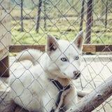 Lovely husky dog Stock Images