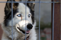 Lovely husky dog Royalty Free Stock Images