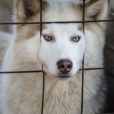 Lovely husky dog Stock Image