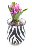 Lovely hyacinth Royalty Free Stock Photos