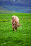 A lovely  Icelandic Horse in a field Stock Images