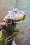 Lovely Iguana Stock Photo