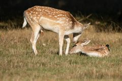 Lovely image of Fallow Deer Dama Dama in Autumn field and woodla. Beautiful image of Fallow Deer Dama Dama in Autumn field and woodland landscape setting stock images
