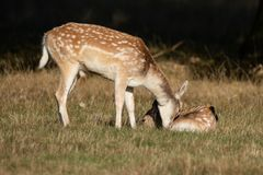 Lovely image of Fallow Deer Dama Dama in Autumn field and woodla royalty free stock image
