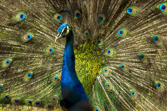 Lovely Indian Peacock bird with open feathers plumage at Kolkata zoo. Stock Images