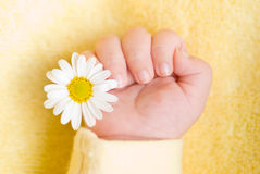 Lovely infant hand with daisy Stock Photography