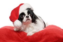 Lovely Japanese Chin dog in a Santa hat Royalty Free Stock Images