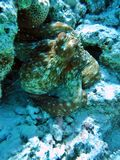 Old reef Octopus in Red Sea Stock Photos