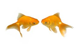 Lovely Kissing Goldfishes - Wedding Invitation Stock Photo
