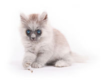 A lovely kitten. Sitting on the floor royalty free stock photo