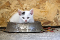 Free Lovely Kitten In The Food Dish Playing Stock Photo - 15353140