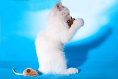 Lovely kitten playing with toy mouse Royalty Free Stock Image