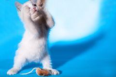 Lovely kitten playing with toy mouse Stock Photos