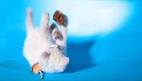 Lovely kitten playing with toy mouse Royalty Free Stock Photography
