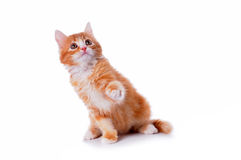 Lovely kitten plays Royalty Free Stock Images