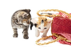 Lovely kittens Royalty Free Stock Images
