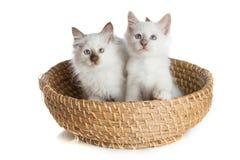 Lovely kittens, sacred Cat of Burma in basket. Two kittens, sacred Cat of Burma in basket on white background stock image