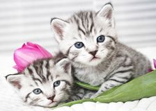 Lovely kittens with tulip stock images