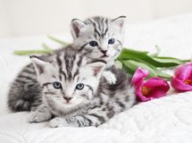 Lovely kittens with tulip stock photos