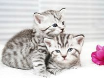 Lovely kittens with tulip royalty free stock images