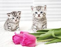 Lovely kittens with tulip royalty free stock photo