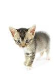 Lovely kitty Stock Images