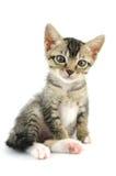 Lovely kitty Stock Image